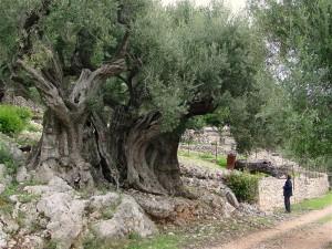 Olivetree_1500yrs